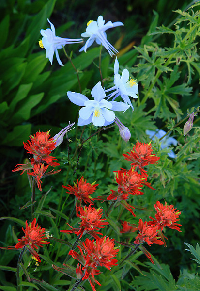 (WC-09005)  Blue columbine and indian paintbrush below West Maroon Pass - Maroon Bells-Snowmass Wilderness, Colorado.