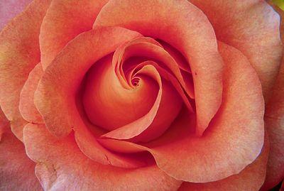 (H011) Rose detail