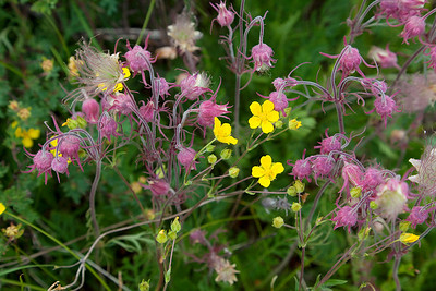 (WF-10085)  Purple Avens and Sticky Cinquefoil in Gunnison Nat'l Forest, Colorado