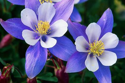 (H010) Blue Columbine - Colorado Rockies