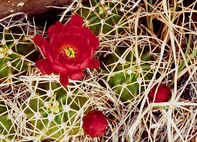 (D015) Claret Cup cactus blossom - New Mexico