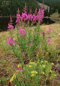 Fireweed  and Yellow?  (C049)