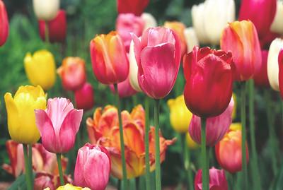(DP-0501) Tulips