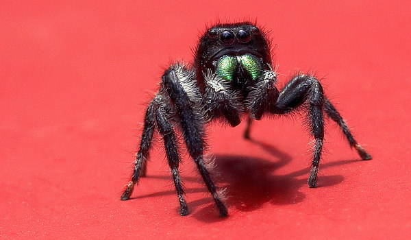 This is a jumping spider that was on my truck. It was about the size of a penny. The iridescent green are its fangs. Taken May 2006 along Creek Rd. Newark, DE.