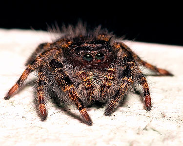 Jumping spider, no bigger than a dime. Taken at Tom and Suz's farm in Elkton, MD. Summer, 2004