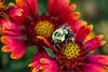 Close-up of bumblebee with pollen basket on Indian blanket flower.