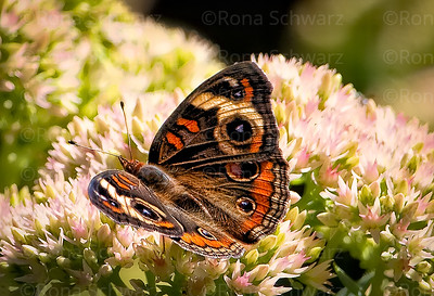 A Buckeye butterfly on sedum plant.
