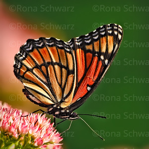 Close-up of a Monarch butterfly on sedum plant in summer.