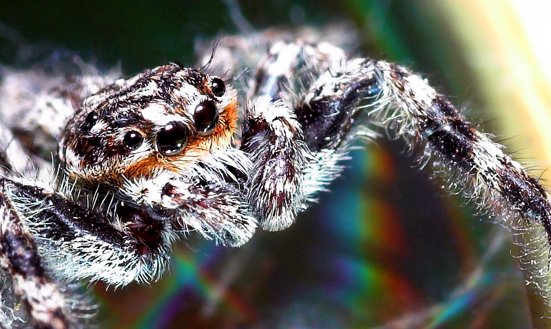 This is a tiny jumping spider that was crawling around my home and stopped on top of a compact disc - hence the rainbow colored background.
