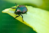 Close-up of a Japanese Beetle on a daylilly petal.
