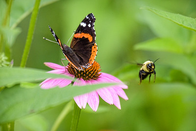 Indiana, USA.  Close-up of purple coneflower with Red Admiral, Holarctic butterfly and bumblebee flying.