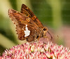 Skipper butterly on sedum plant in summer.