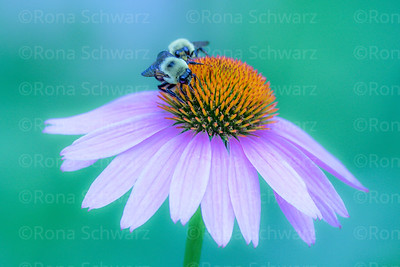 Indiana, USA.  Close-up of purple coneflower with Red Admiral, Holarctic butterfly and bumblebee.