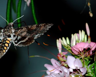 I think this is a sphinx moth. It was very dark when I took this photo so it's amazing I got the any part of it! Taken at Tom and Suz's farm in Cecil County Maryland. The long dark red stringy thing coming from its head and then directly vertical is it's proboscis or straw-like tongue that they use to gather nectar.