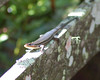 Skink at Corkscrew Swamp Sanctary