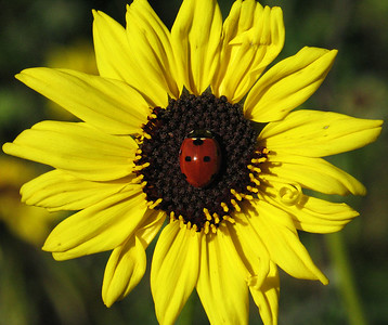 Just happend to find this ladybug smack in the middle of this flower.