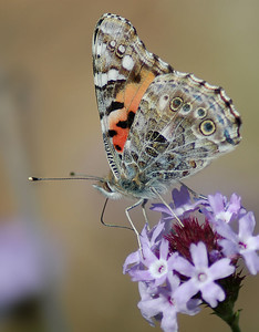 butterfly (painted lady?)
