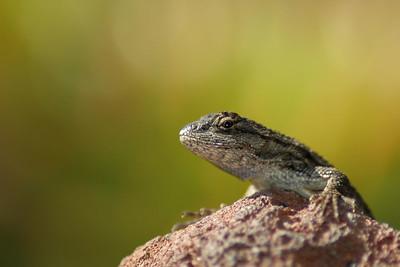 Small gecko - Hungtington Gardens.