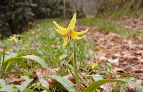 Trout Lilly beside the trail