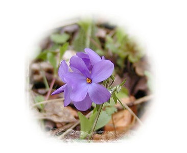 Purple Phlox <br /> Polemoniaceae family<br /> Bradley Fork Trail<br /> GSMNP March 2007