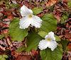 Trillium Grandiflora<br /> Bradley Fork Trail<br /> GSMNP March 2007