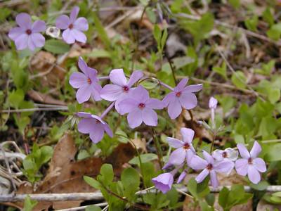 Cluster of Purple Phlox along Bradley Fork Trail <br /> Smokemont GSMNP<br /> April 13, 2007