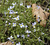 Trailside bluets