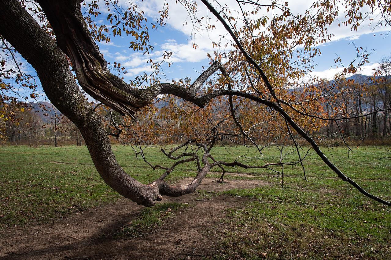 Cades Cove Tree