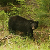Black Bear - CadesCove - GSMNP