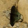 Green Swallowtail Butterfly