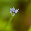 Blue-Eyed Grass - GSMNP
