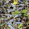 Blue-green stemmed goldenrod not sure what sort