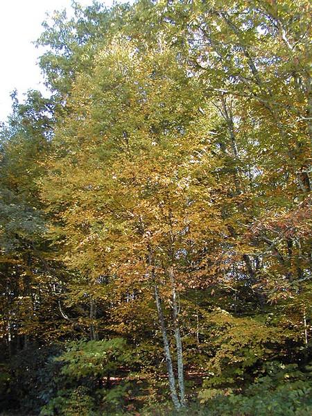 Golden birch tree