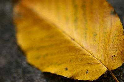 An autumn leaf sitting on a rock during the fall of 2009.