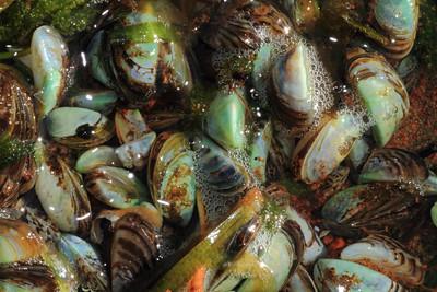 Zebra Mussels- Lake Mille Lacs