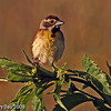 Dickcissel at Snake Creek Marsh Rippey IA