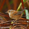 Marsh Wren - Adult in fall