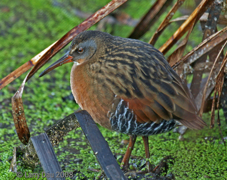 Virginia Rail - Sanke Creek marsh