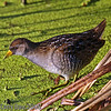 Sora Rail - adult