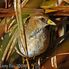 Sora Rail - Immature peeking through cattails