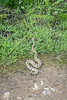 The last Rattle Snake we encountered while leaving.