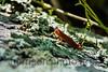 Eastern Newt<br /> Shenandoah National Park, VA