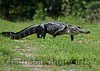 American Alligator<br /> Bull Island, SC