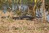 American Alligator<br /> Savannah National Wildlife Refuge, SC