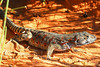 Gravid female long-nosed leopard lizard in Arches National Park, Utah, summer 2008.