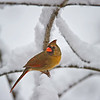 Cardinal female in the snow