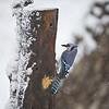 Blue Jay at suet feeder