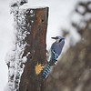 Blue Jay at suet feeder