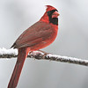 Cardinal male in the snow