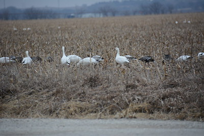 Snow Geese Jeffrey Energy Center Feb17